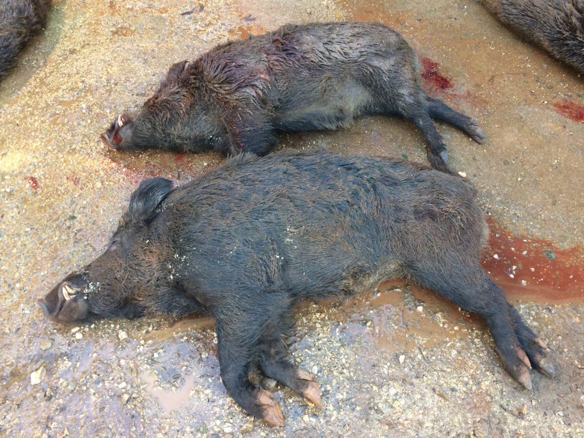 Peste porcine africaine : intervention de l'Armée lors de battues administratives au sanglier !