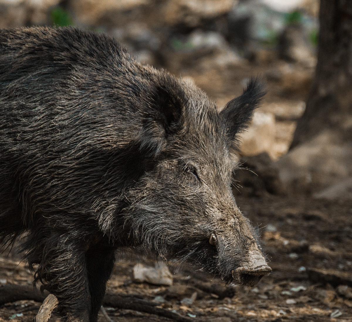 wild boar fever VIII