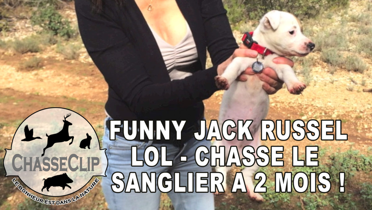 Funny Jack Russell : chasse le sanglier à 2 mois !