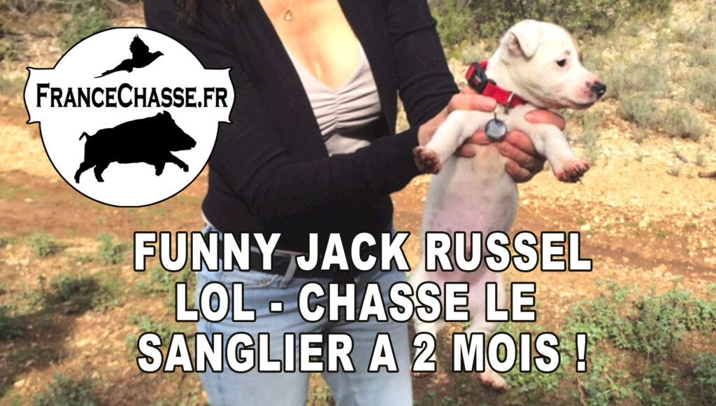 Jack Russell chasse sanglier